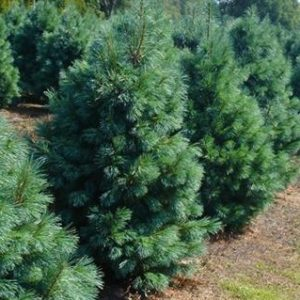 Pinus monticola sosna zachodnia Ammerland