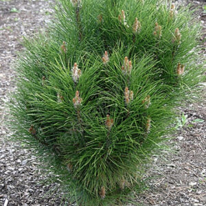 Sosna czarna pinus nigra Rondello
