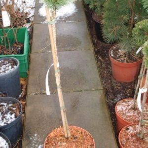 Pinus mugo kosodrzewina Minikin