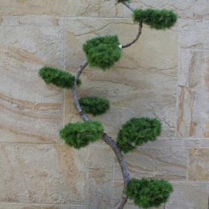 Modrzew wąż wygięty bonsai