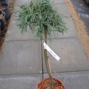 Pinus strobus Green Twist sosna wejmutka