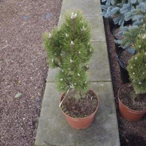 Pinus nigra sosna czarna Richard