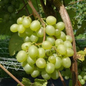 Winorośl winogrono Prim