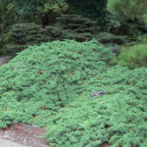 Jałowiec rozesłany Nana juniperus procumbens