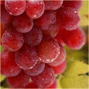 Winorośl winogrono Chrupka różowa