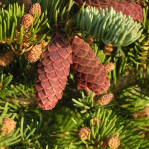 Świerk Engelmanna Picea engelmannii