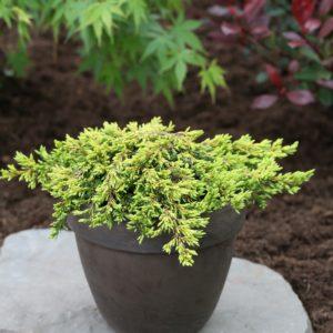 Jałowiec pospolity juniperus communis Goldschatz