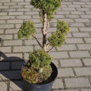 Świerk Daisy white bonsai formowany