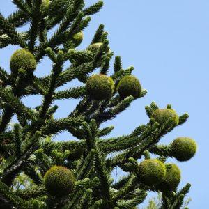 Araukaria chilijska małpie drzewko