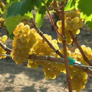 Winorośl winogrono Junior