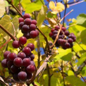 Winorośl winogrono Lidia