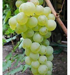Winorośl winogrono Chrupka złota