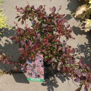 Berberys Atropurpurea nana