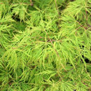 Klon palmowy zielony strzępolistny Dissectum