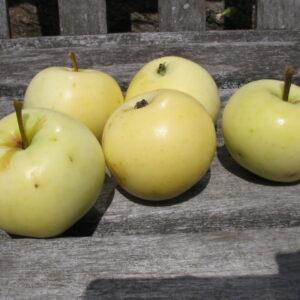 Jabłoń Oliwka żółta papierówka stara odmiana