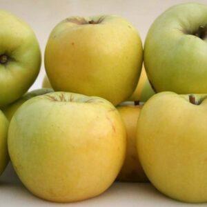 Jabłoń Antonówka zwykła stara odmiana