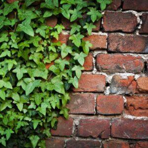 Bluszcz Sagittifolia zielony hedera,strzałkowy