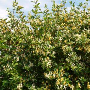 Wiciokrzew pachnący pstry liść Aureoreticulata