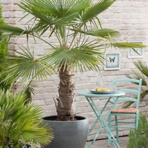 Szorstkowiec Fortunego Trachycarpus fortunei