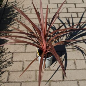 Kordylina australijska Cordyline