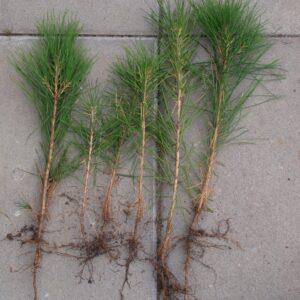 Sosna gęstokwiatowa Pinus densiflora